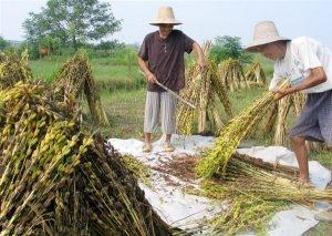 Азиаты собирают сезам